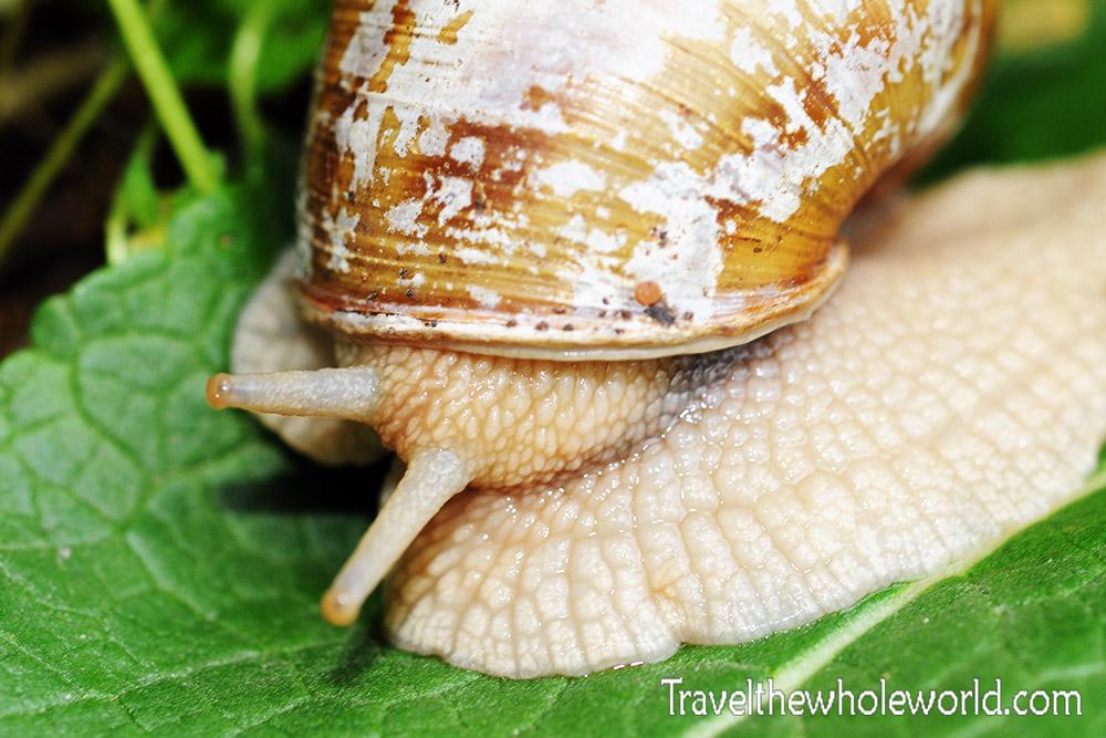 Romania Snail