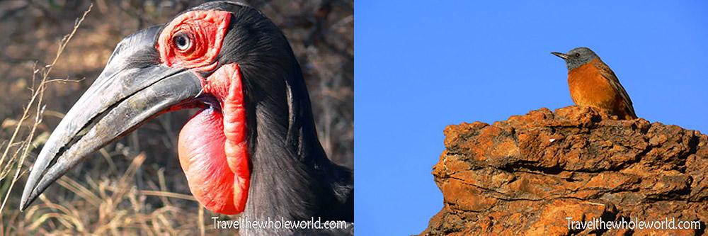 South Africa Ground Hornbill Cape Rock Thrush