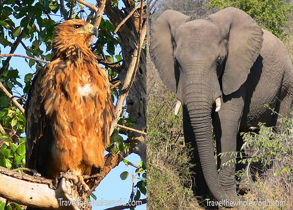 South Africa Kruger Hawk & Elephant