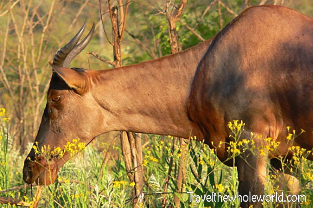 South Africa Kruger Tsessebe