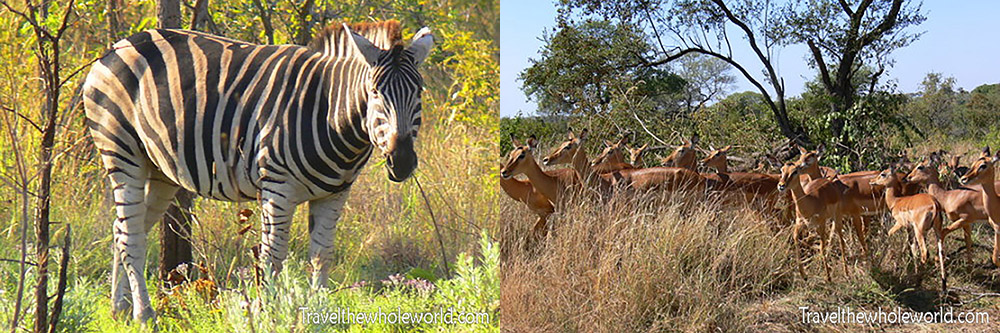 South Africa Zebra Gazelle