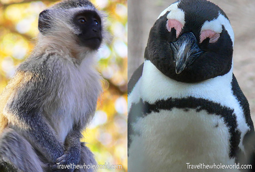 South Africa Monkey & Penguin