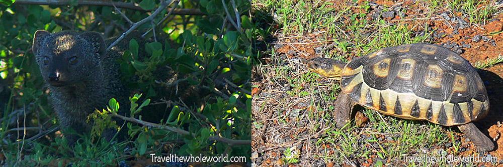 South Africa West Coast National Park Tortoise & Mongoose