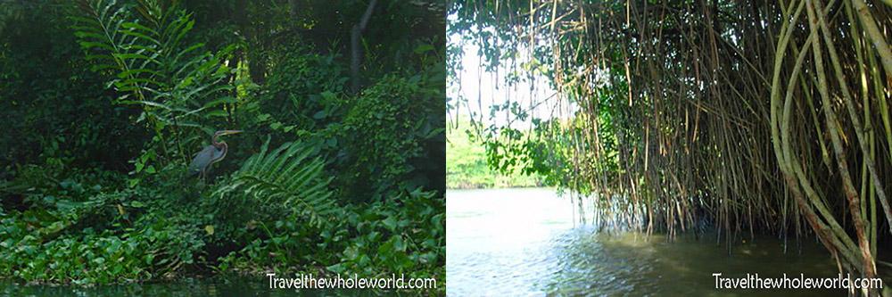 Sri Lanka Mangrove Heron
