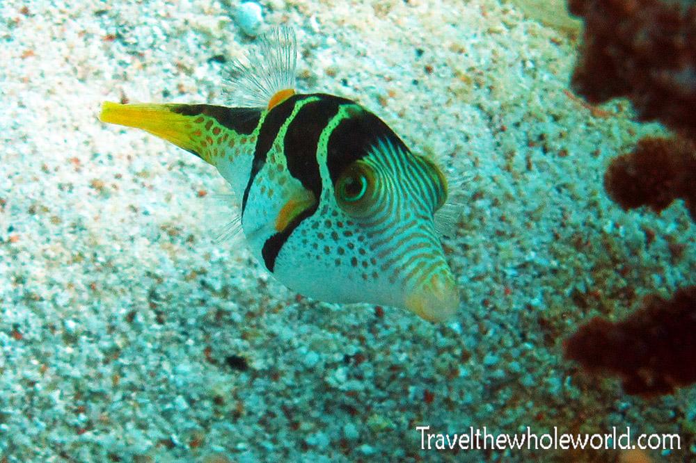 Yemen Socotra Diving Fish Puffer