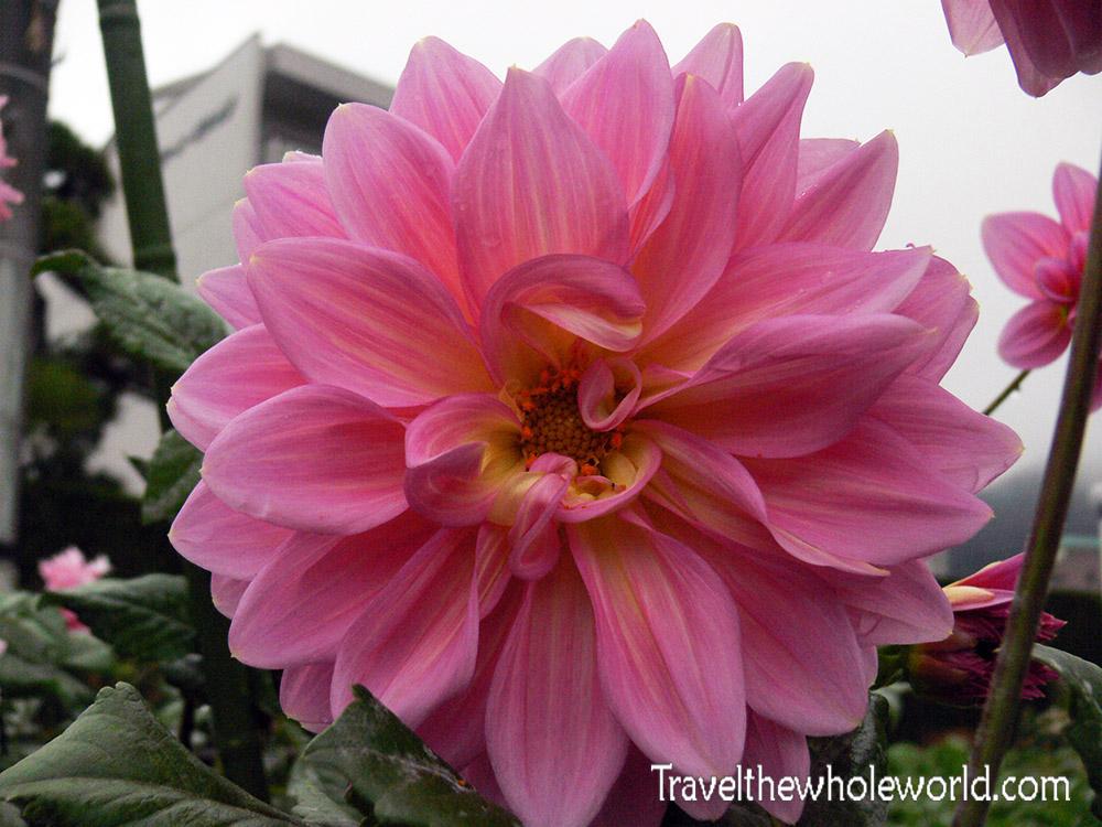 Japan Mt. Fuji Flower
