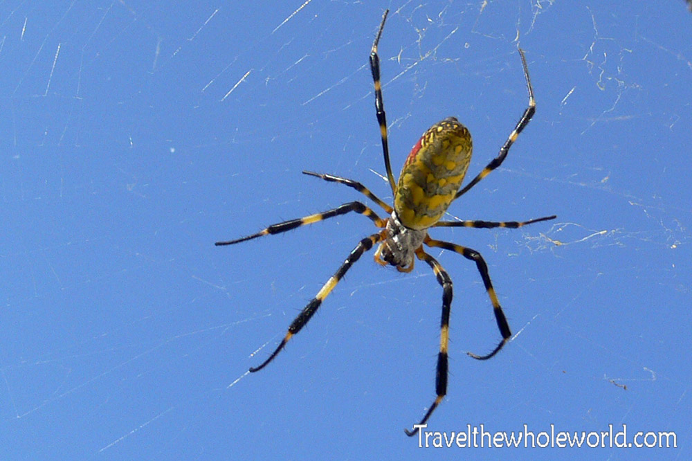 Japan Yellow Black Spider