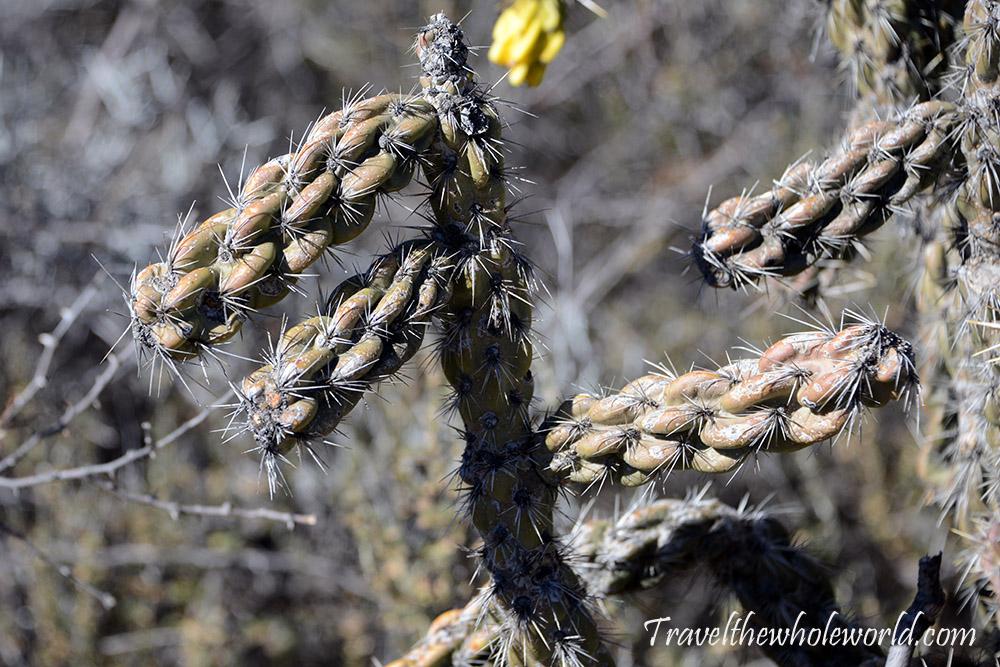 Guadaloupe Peak Cactus
