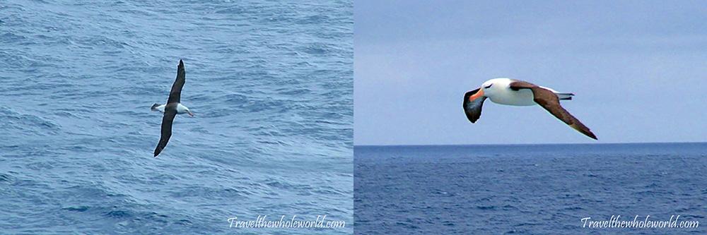 Antarctica Black Browed Albatross