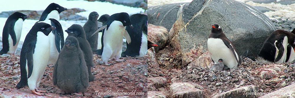 Antarctic Penguin Chicks