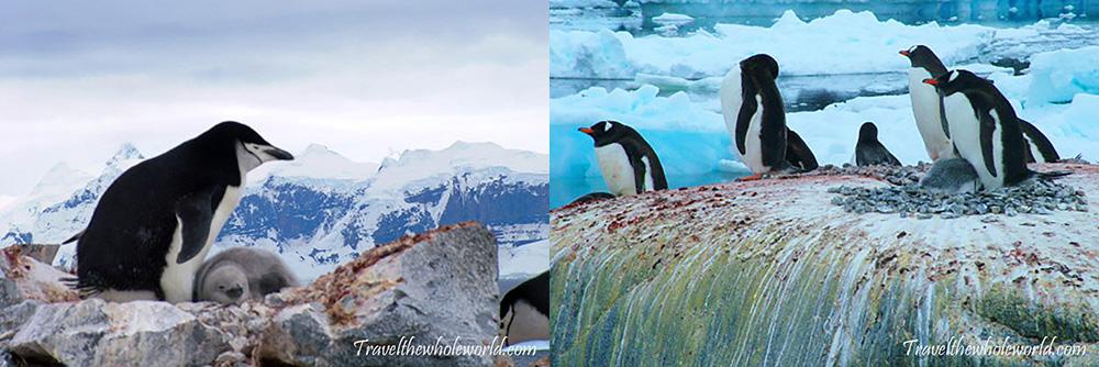 Antarctica Penguin Nests Gentoo