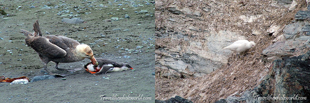 Antarctica Giant Petrel Eating White Bird