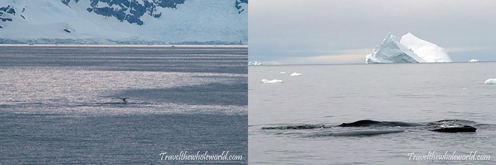 Antarctica Humpback Whales