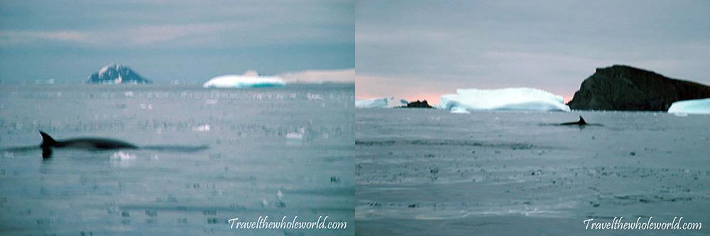 Antarctica Minke Whales