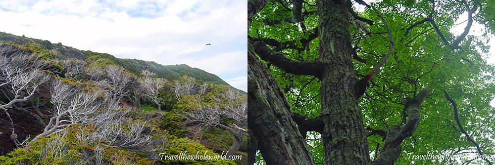 Tierra del Fuego Woodpecker