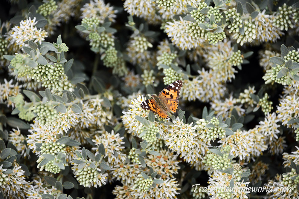 Sahara Butterfly