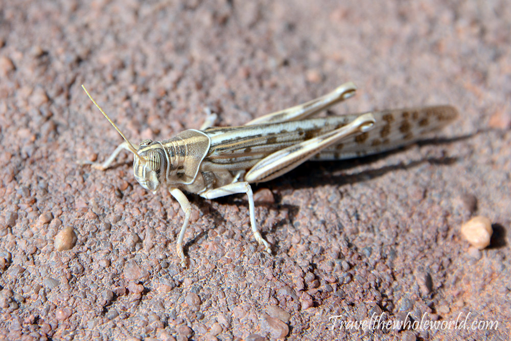 Sahara Grasshopper