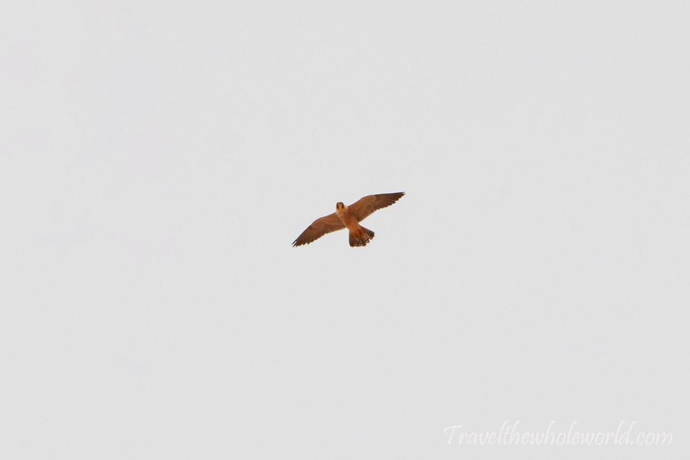 Sahara Hawk