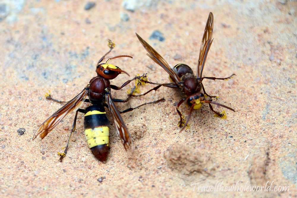 Sahara Wasps
